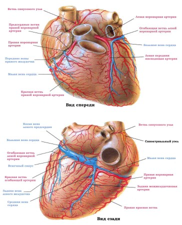 Желудочки сердца человека