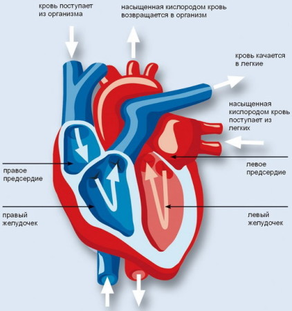 Функции сердца человека