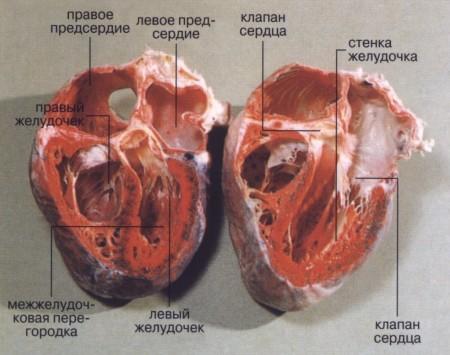 Человеческие клапаны