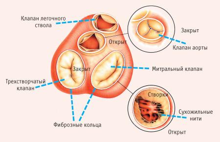 Схема расположения клапанов сердца человека