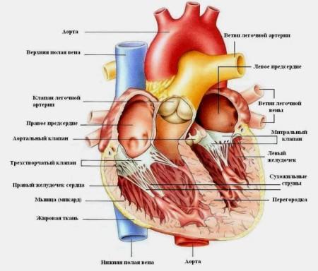 Строение сердца человека