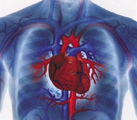 Расположение сердца у человека