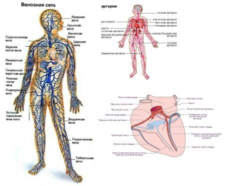 Артериальная и венозная сеть