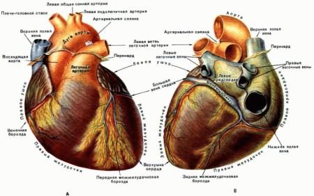 Артерии и сосуды сердца