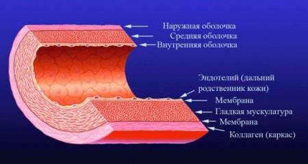 Анатомическое строение аорты