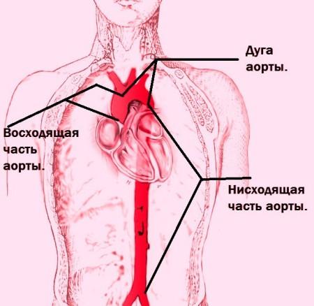 Нисходящуая и восходящая дуги аорты
