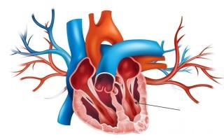Левый желудочек сердца