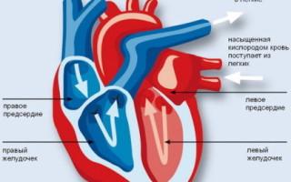 Определение и назначение функций сердца человека