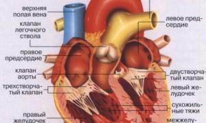 Сердце и клапанный аппарат