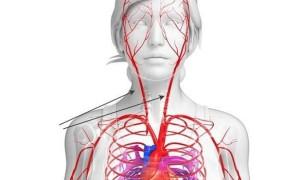 Сколько у человека артерий