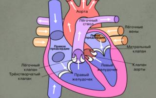 Система сосудов и сердца человека, ее строение и функции