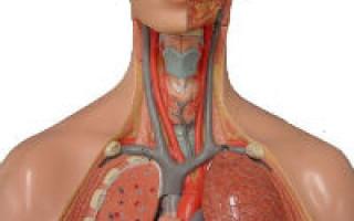 Брахиоцефальные артерии это