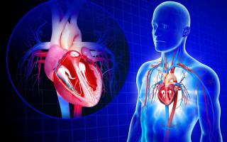 Сердце человека: С какой стороны находится человеческое сердце