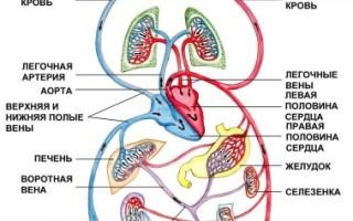 Детально о кругах кровообращения у человека