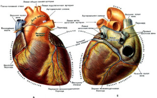 Как устроено сердце